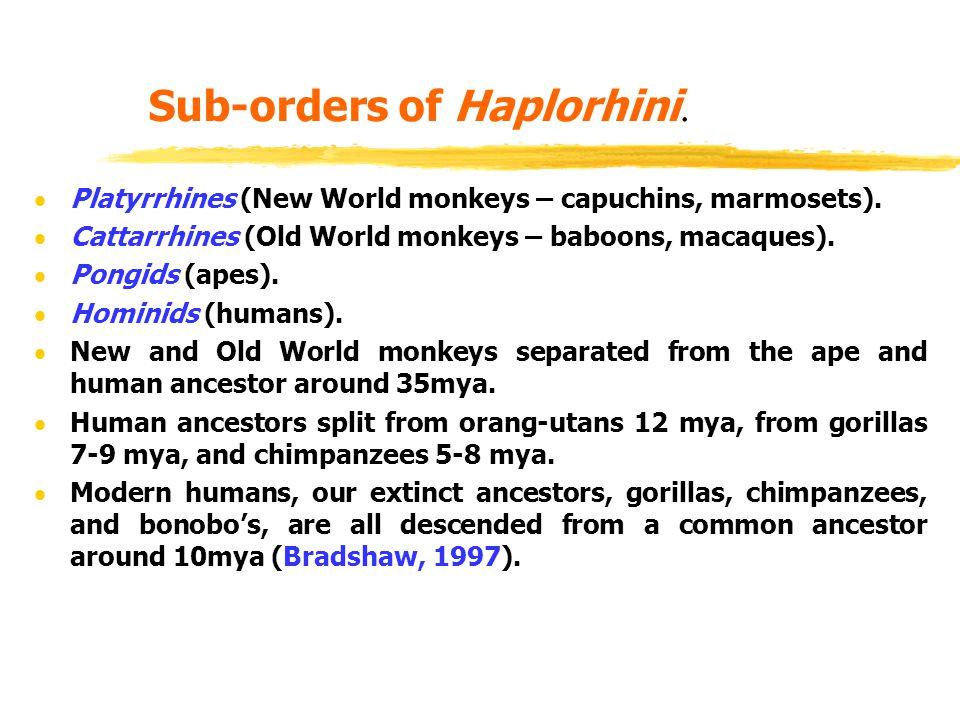Sub-orders of Haplorhini.  Platyrrhines (New World monkeys – capuchins, marmosets).