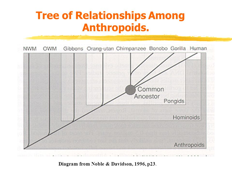 Tree of Relationships Among Anthropoids. Diagram from Noble & Davidson, 1996, p23.