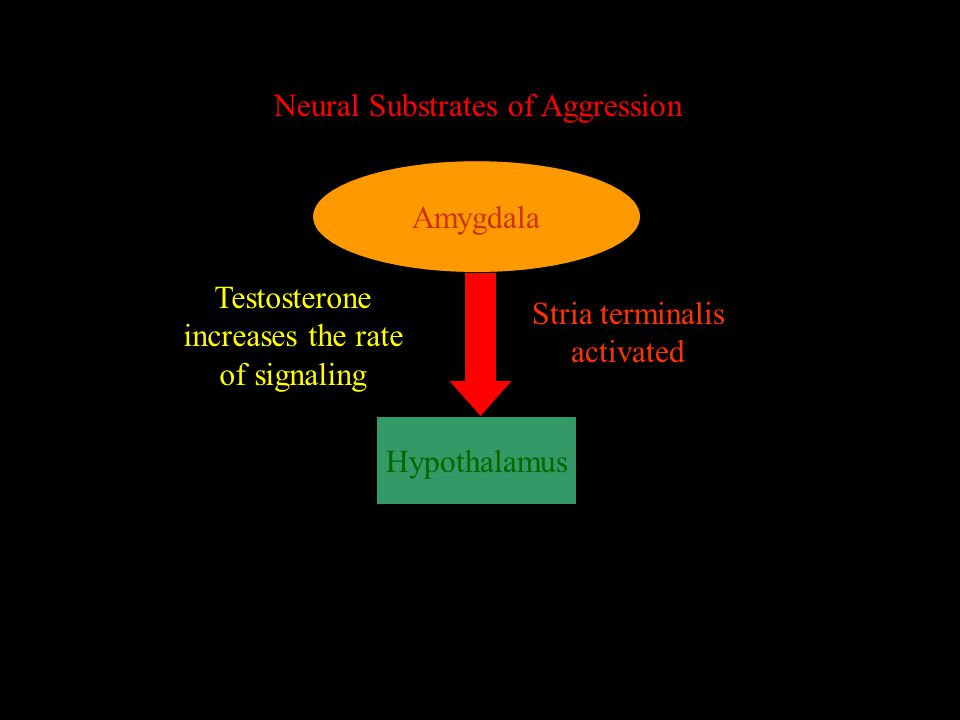 Neural Substrates of Aggression Amygdala Hypothalamus Stria terminalis activated Testosterone increases the rate of signaling
