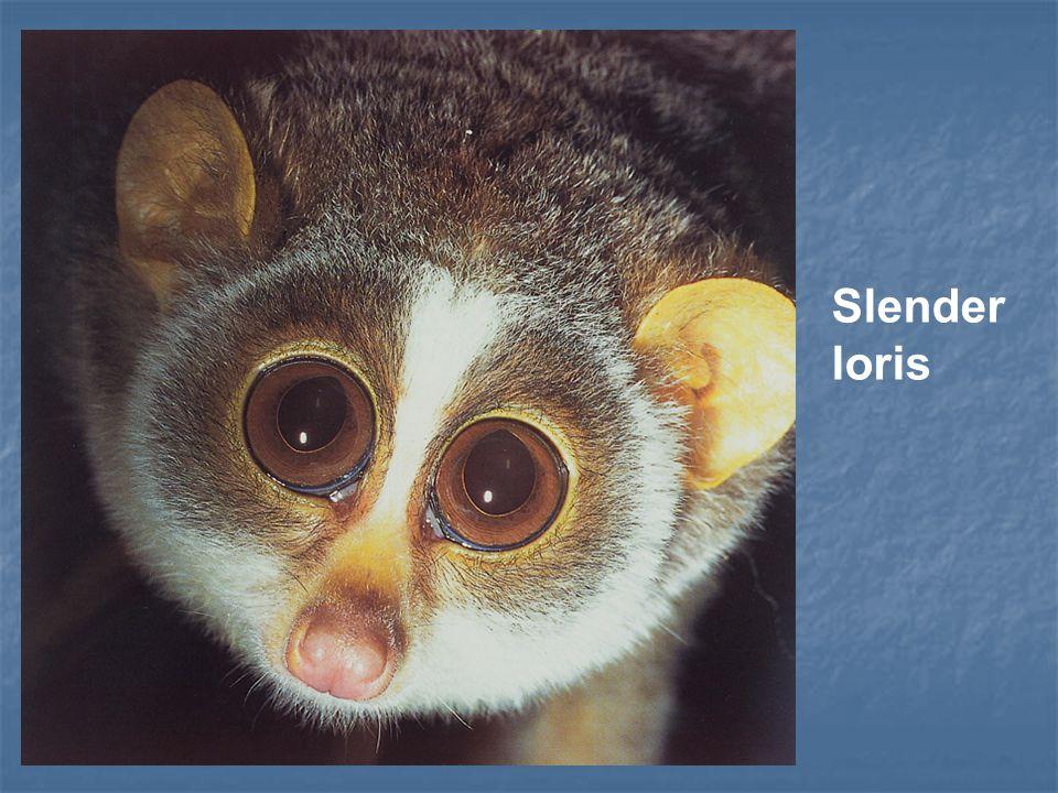 Slender loris