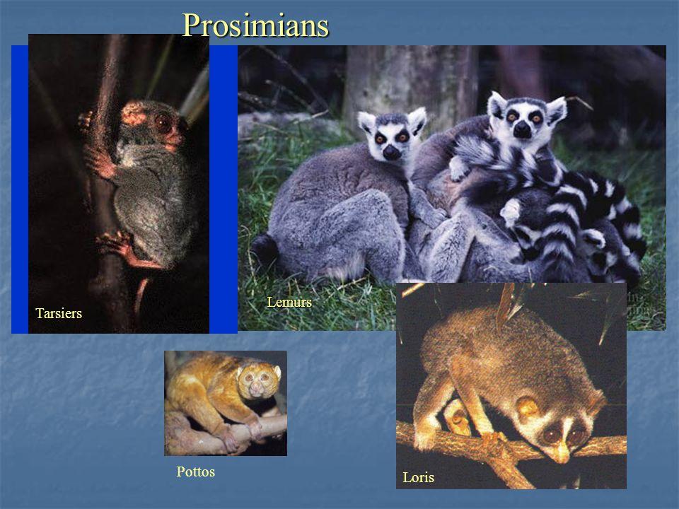 Tarsiers Lemurs Loris PottosProsimians