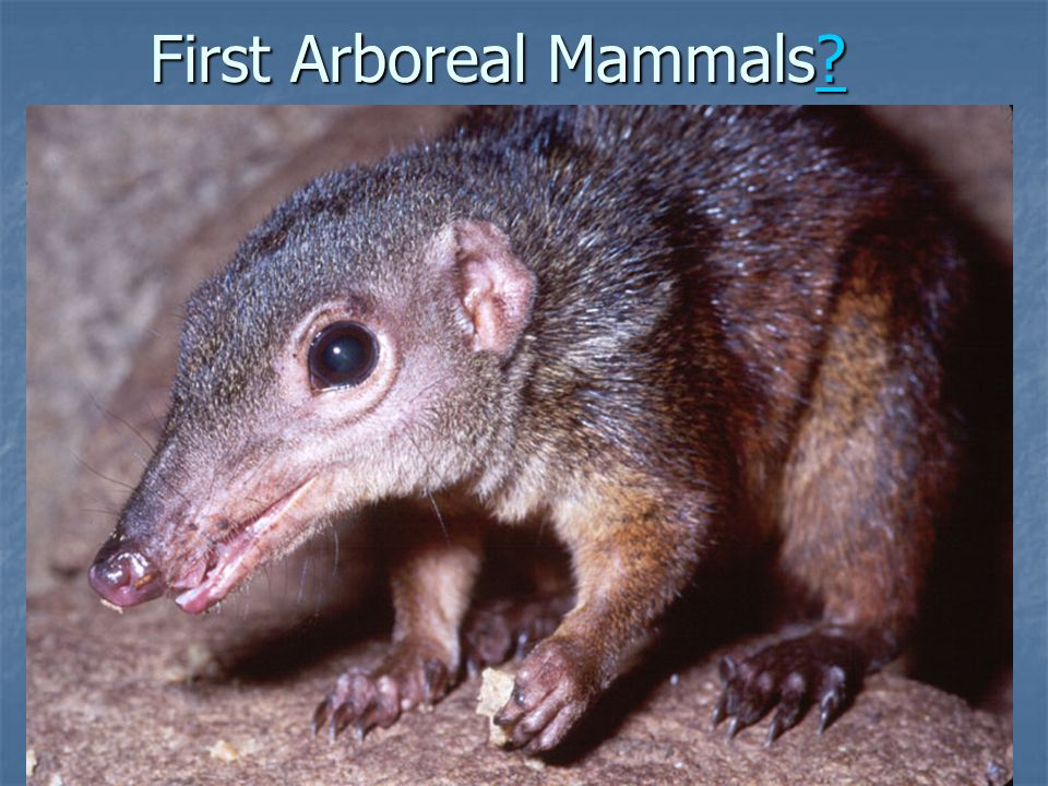 First Arboreal Mammals? ?