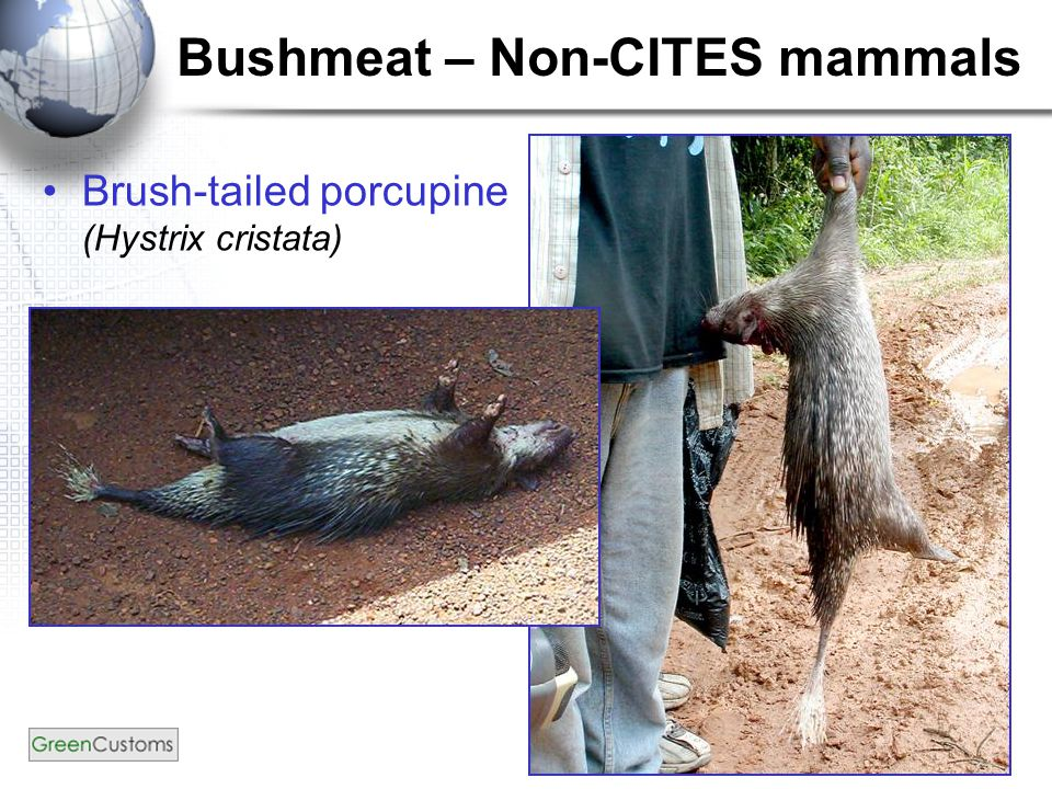 Bushmeat – Non-CITES mammals Brush-tailed porcupine (Hystrix cristata)