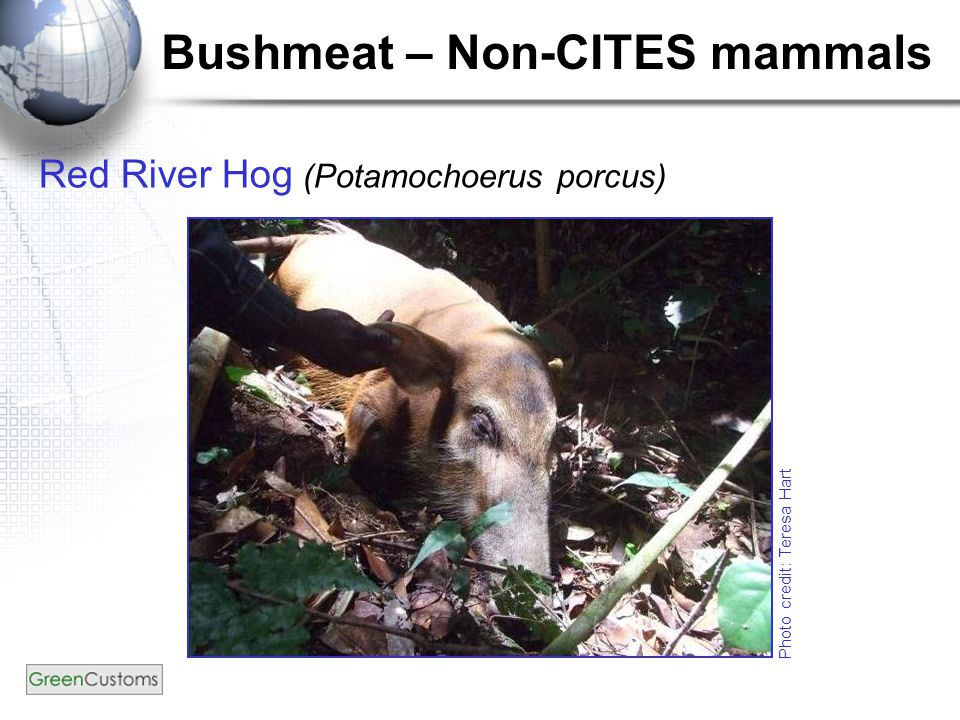 Bushmeat – Non-CITES mammals Red River Hog (Potamochoerus porcus) Photo credit: Teresa Hart
