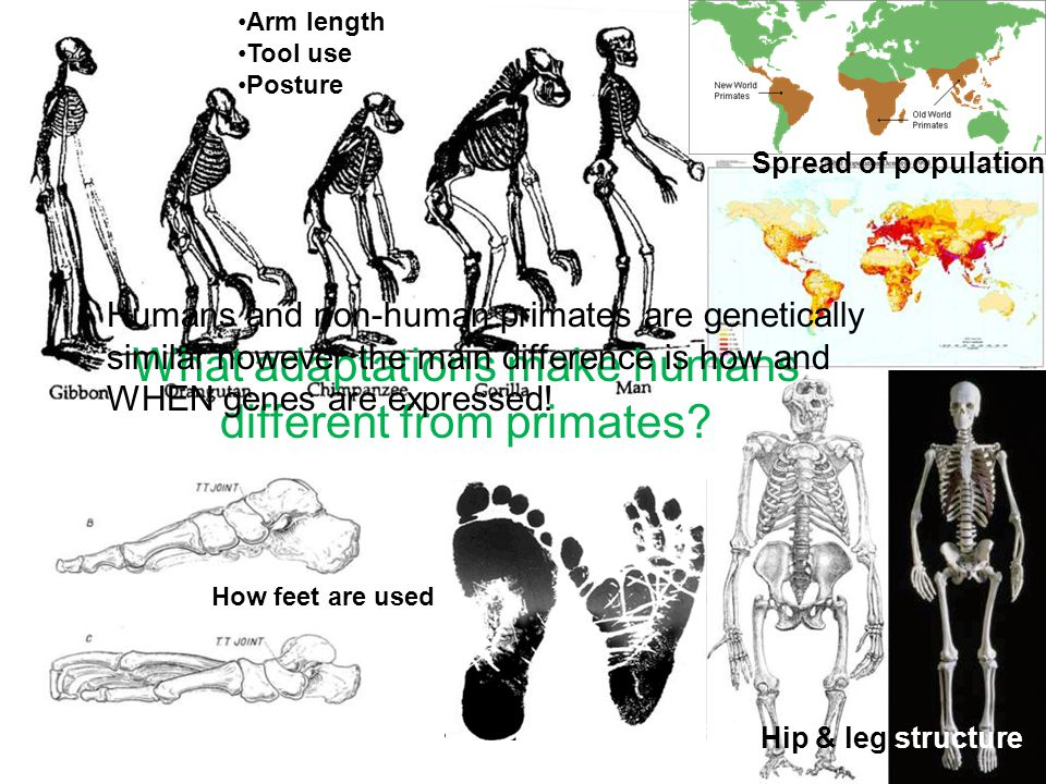 What adaptations make humans different from primates.