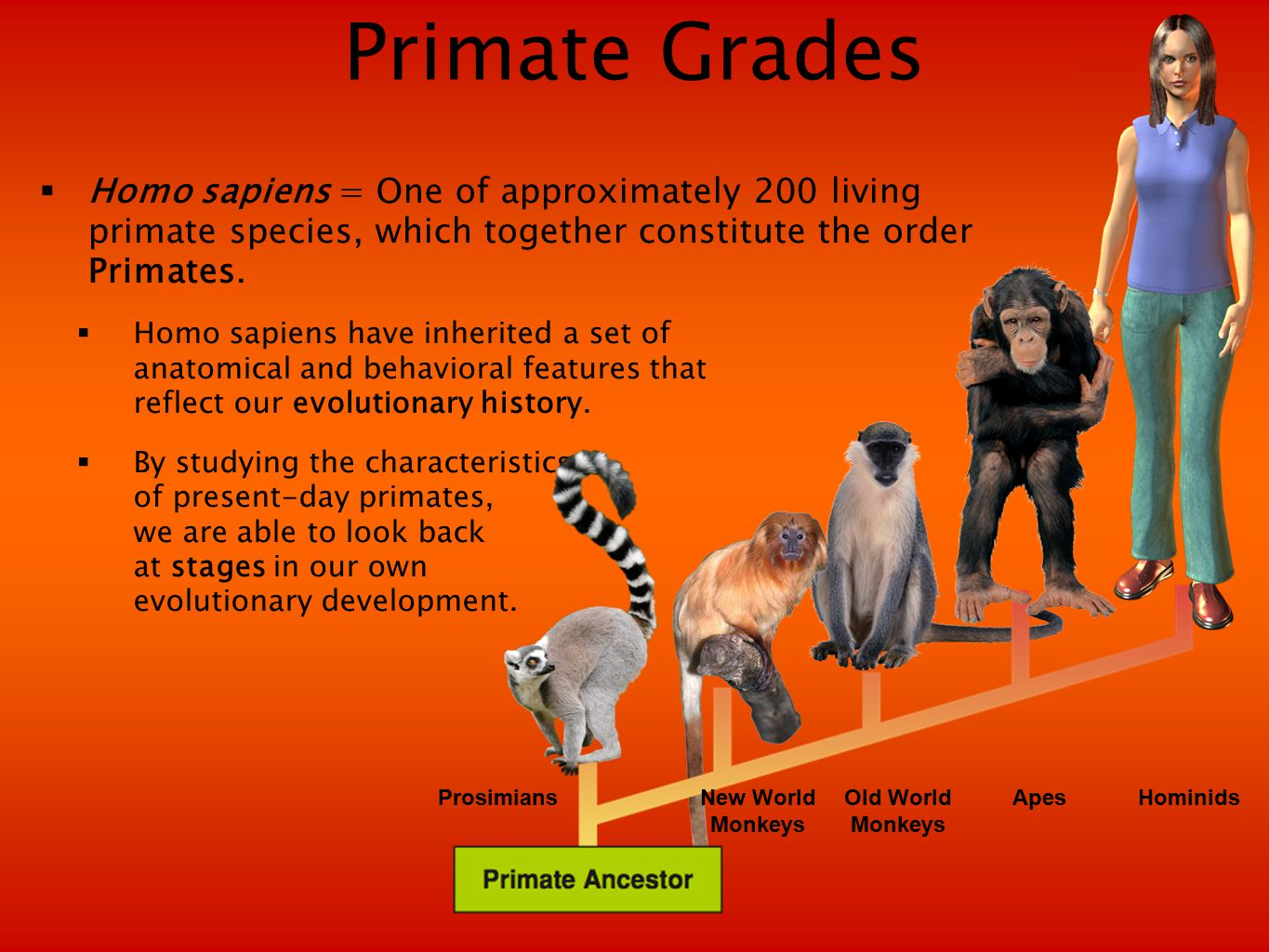  Homo sapiens = One of approximately 200 living primate species, which together constitute the order Primates.