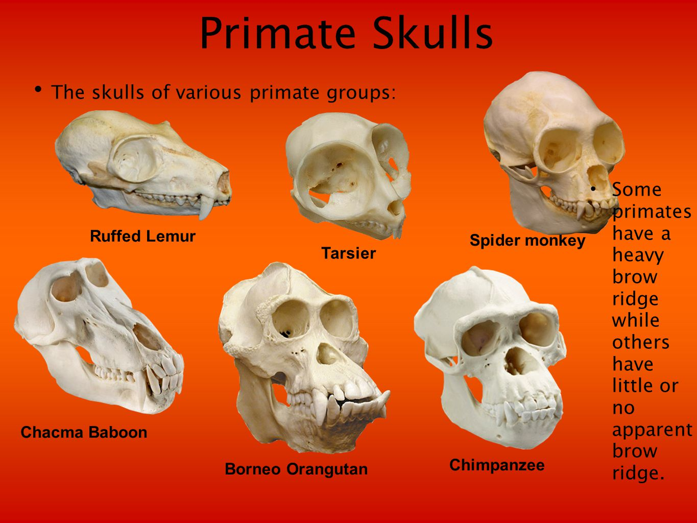 Genetic Similarity of Primates The genetic relationships among the primates have been investigated using DNA hybridization as well as comparing DNA sequences.