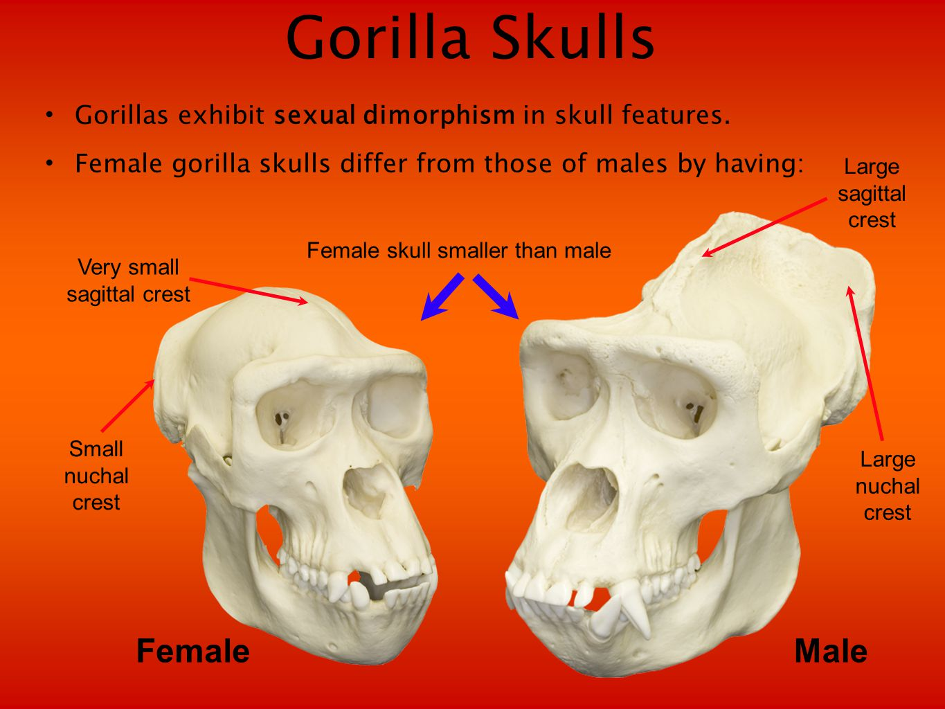 Gorilla Skulls Gorillas exhibit sexual dimorphism in skull features.