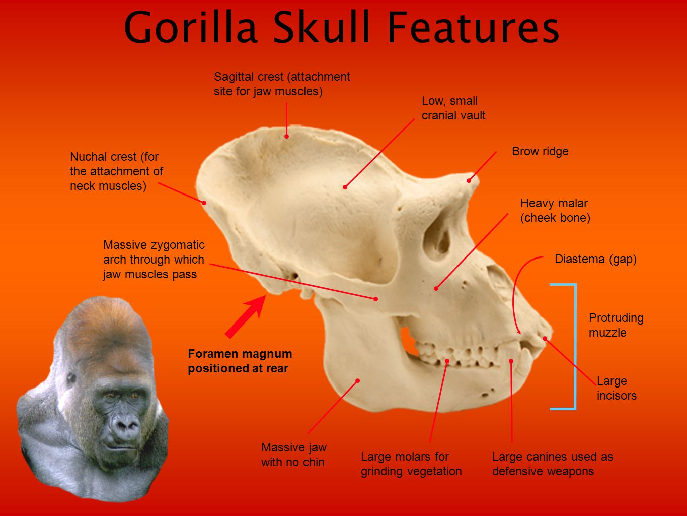 Primate Tails Features that distinguish primate tails: Tails present or absent A prehensile tail can be used to grip things Furred or not furred Long or short