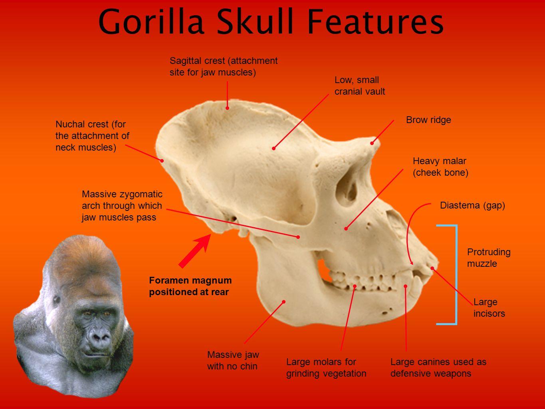 Primate Evolution Lemurs & lorises Tarsiers New World monkeys Old World monkeys GibbonsOrangutansGorillasChimpanzeesHumans Present 1.8 5 PLEISTOCENE PLIOCENE UPPER MIOCENE MIDDLE MIOCENE LOWER MIOCENE 10 15 Millions of years ago 20 25 30 35 40 45 50 55 60 OLIGOCENE EOCENE PALEOCENE Adapiformes Purgatorius Strepsirhines May have given rise to the primates, in Africa 60 million years ago (probably tree-dwelling and adapted to gliding between trees) Omomyiformes Afrotarsius Branisella Prohylobates Micropithecus.