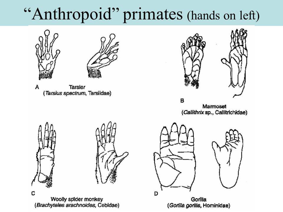 Taxonomic generalization ( suborders ) Strepsirhini (prosimians) Probably somewhat like earliest primates.