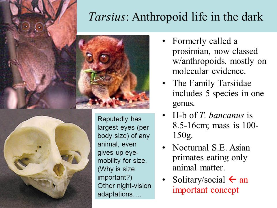 Uh, why do they call it a tarsiar.Diagram compares right feet of tarsier and brown lemur.