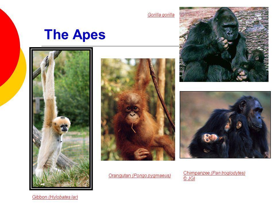 The Apes Gibbon (Hylobates lar) Gorilla gorilla Orangutan (Pongo pygmaeus) Chimpanzee (Pan troglodytes) © JGI