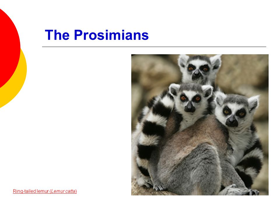 The Prosimians Ring-tailed lemur (Lemur catta)