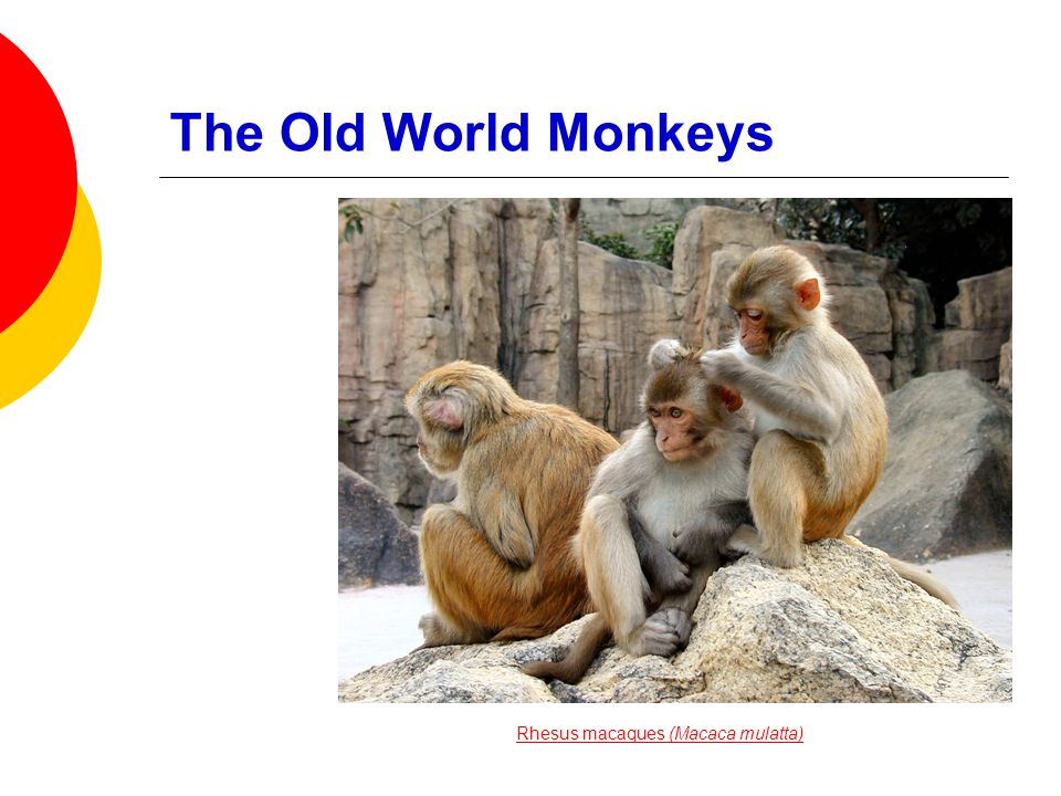 The Old World Monkeys  Narrow nose  Tail (when present) never prehensile  Mostly diurnal © 2008 Paul Billiet ODWSODWS