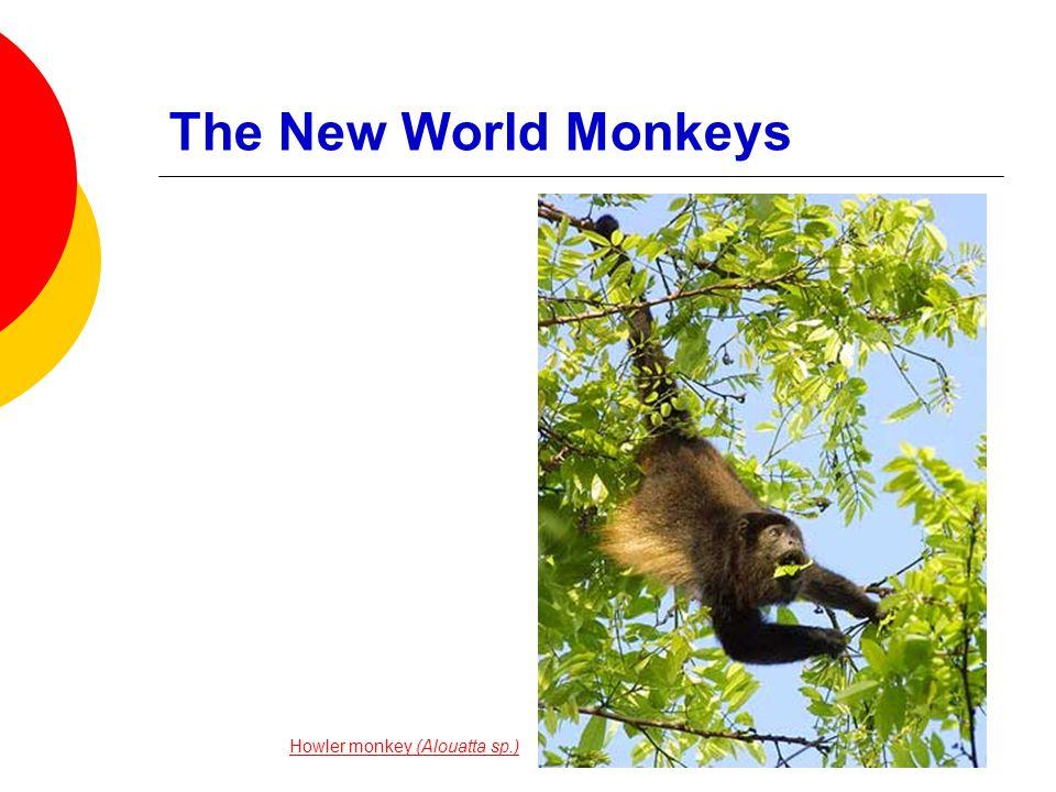 The New World Monkeys  Split from the old world monkeys about 40 Ma  Flat-nosed  More premolars  Long tails, some prehensile © 2008 Paul Billiet ODWSODWS