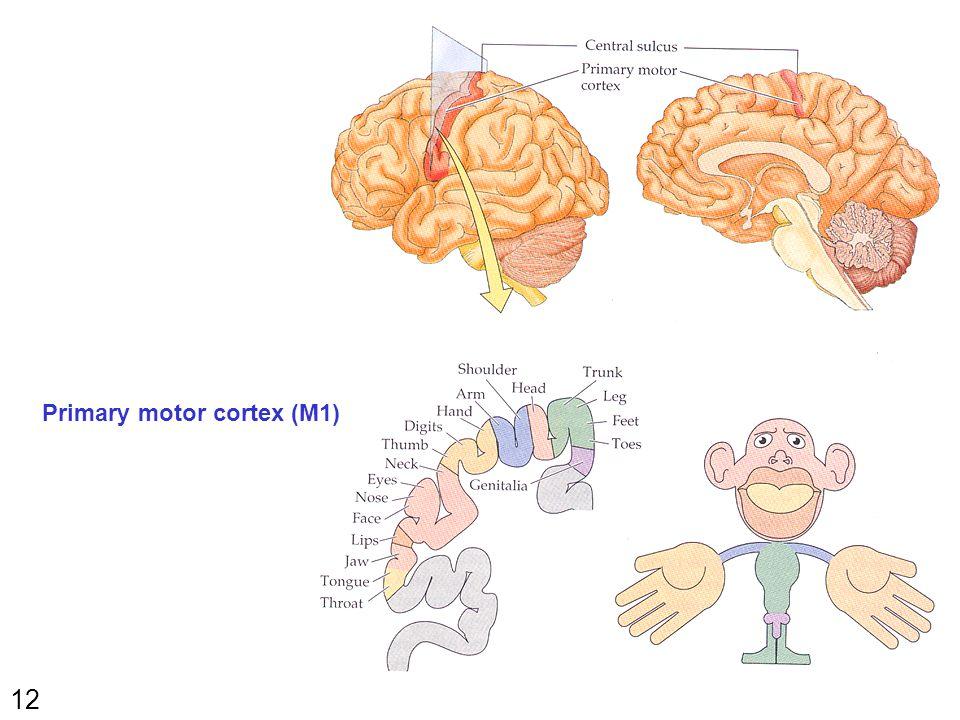 12 Primary motor cortex (M1)