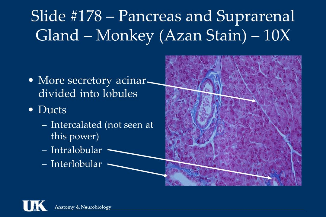 Anatomy & Neurobiology More secretory acinar divided into lobules Ducts –Intercalated (not seen at this power) –Intralobular –Interlobular Slide #178 – Pancreas and Suprarenal Gland – Monkey (Azan Stain) – 10X