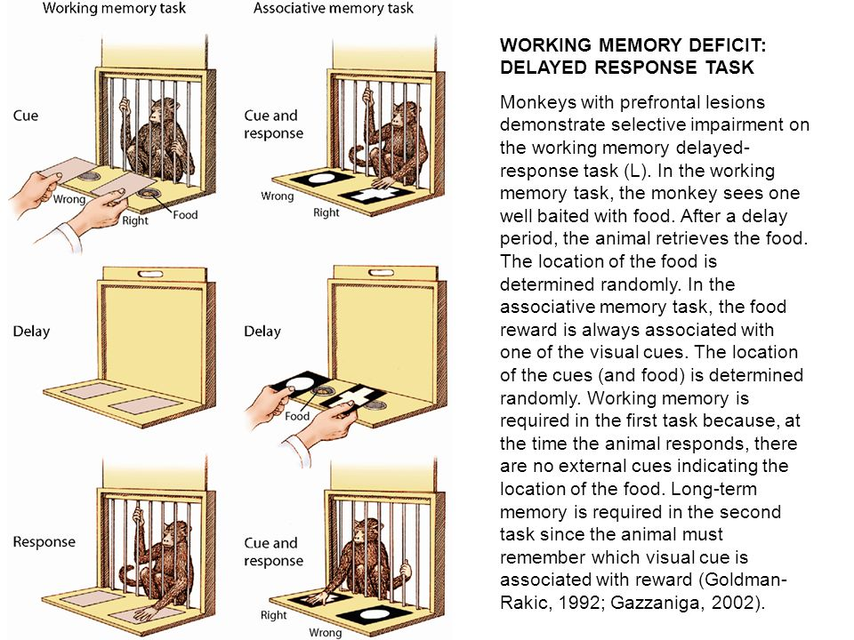 WORKING MEMORY DEFICIT: DELAYED RESPONSE TASK Monkeys with prefrontal lesions demonstrate selective impairment on the working memory delayed- response task (L).