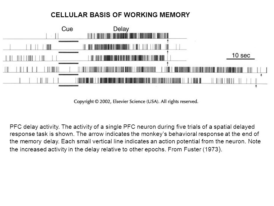 CELLULAR BASIS OF WORKING MEMORY PFC delay activity.