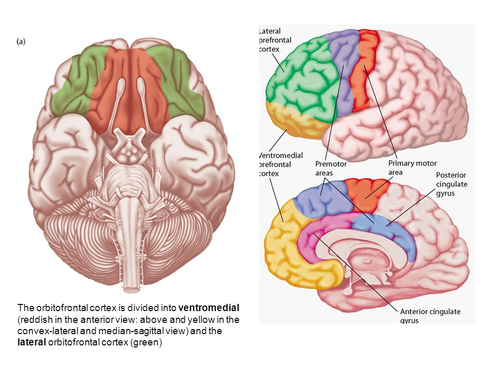 The orbitofrontal cortex is divided into ventromedial (reddish in the anterior view: above and yellow in the convex-lateral and median-sagittal view) and the lateral orbitofrontal cortex (green)