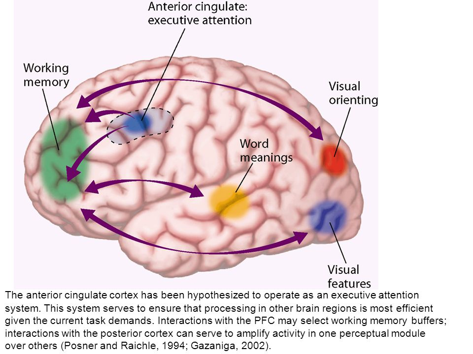 The anterior cingulate cortex has been hypothesized to operate as an executive attention system.