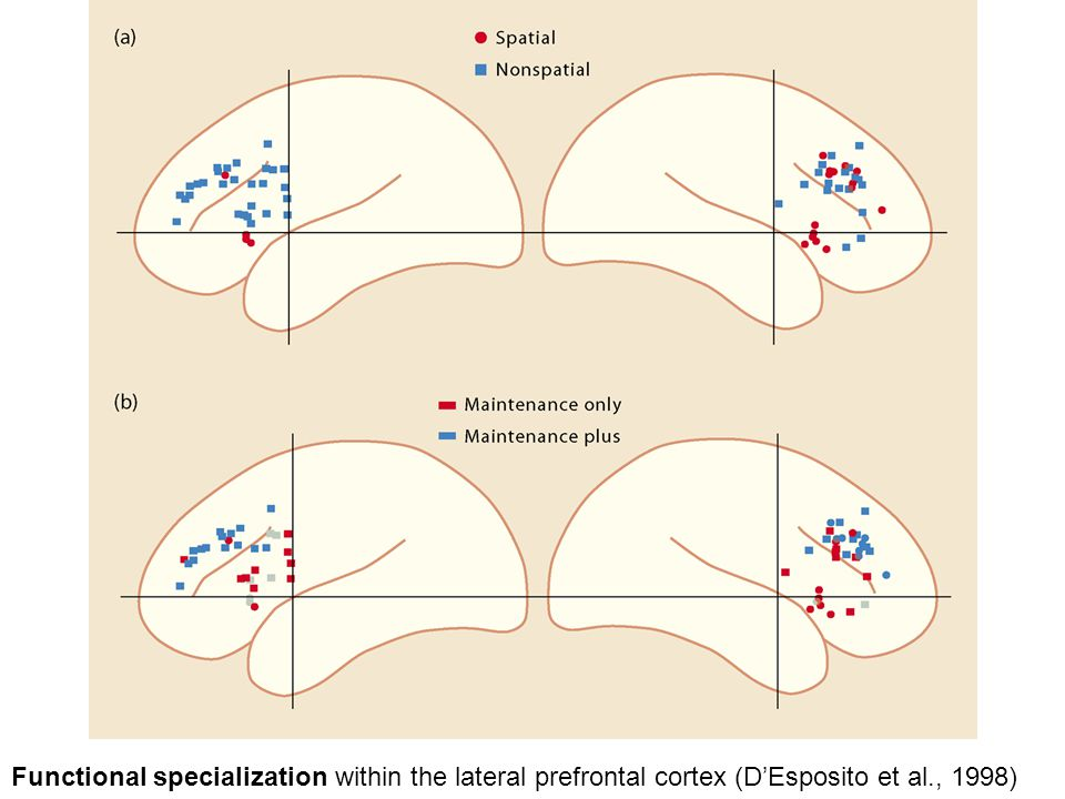 Functional specialization within the lateral prefrontal cortex (D'Esposito et al., 1998)