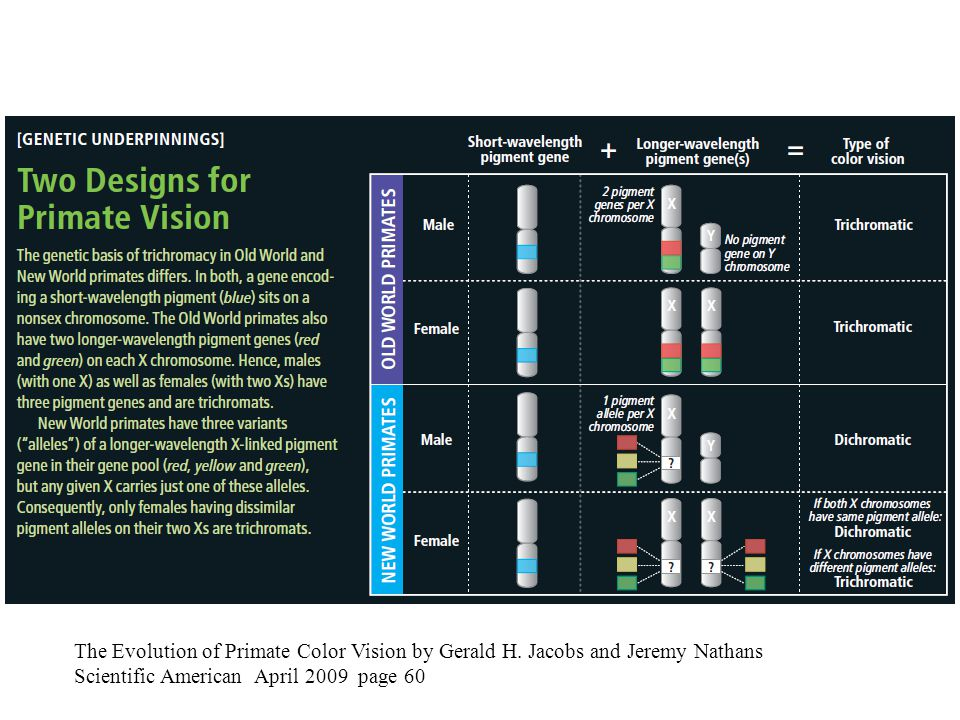 The Evolution of Primate Color Vision by Gerald H. Jacobs and Jeremy Nathans Scientific American April 2009 page 60