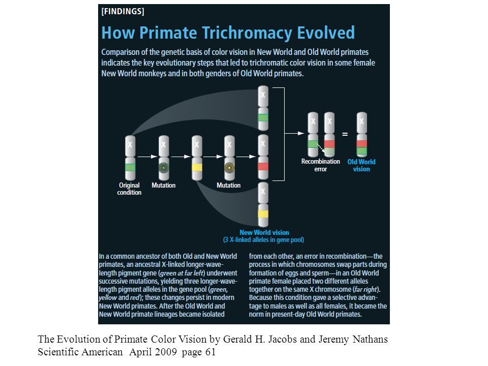 The Evolution of Primate Color Vision by Gerald H. Jacobs and Jeremy Nathans Scientific American April 2009 page 61
