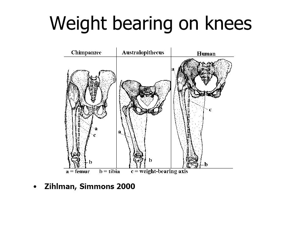 Weight bearing on knees Zihlman, Simmons 2000