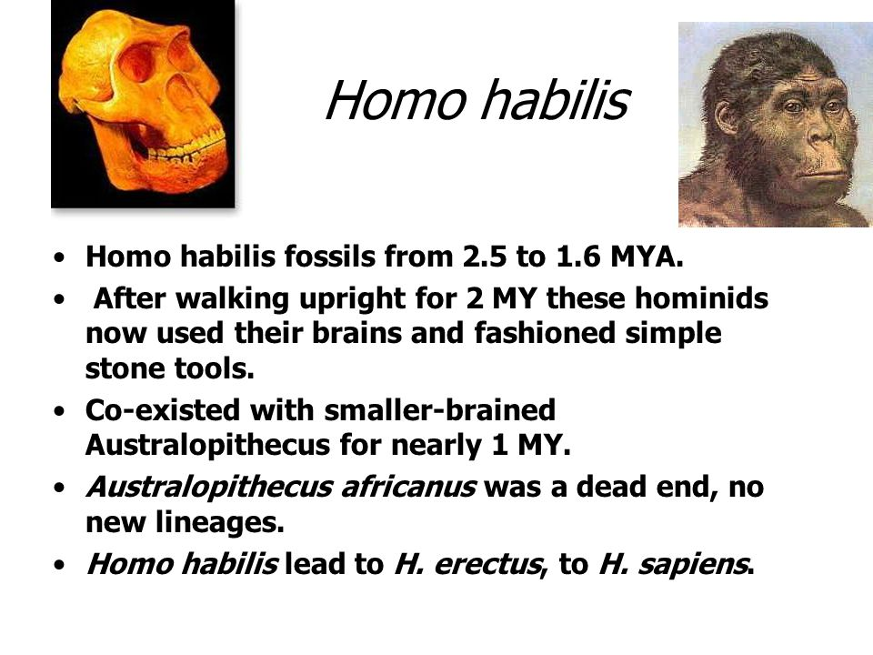 Homo habilis Homo habilis fossils from 2.5 to 1.6 MYA. After walking upright for 2 MY these hominids now used their brains and fashioned simple stone