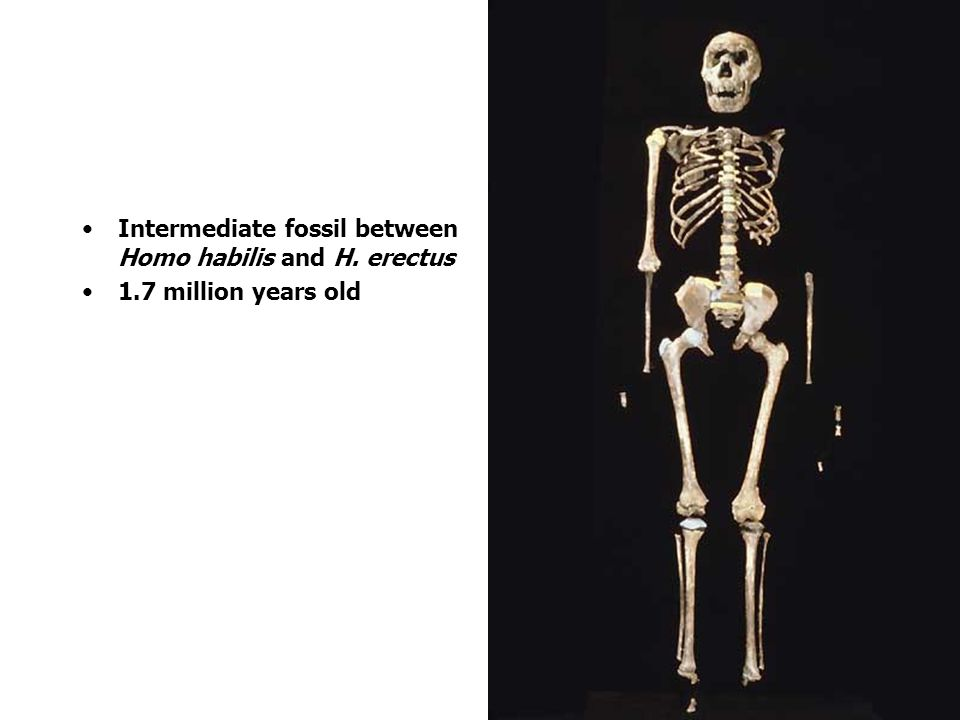 Intermediate fossil between Homo habilis and H. erectus 1.7 million years old