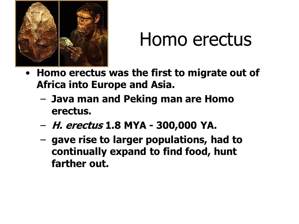 Homo erectus Homo erectus was the first to migrate out of Africa into Europe and Asia. –Java man and Peking man are Homo erectus. –H. erectus 1.8 MYA