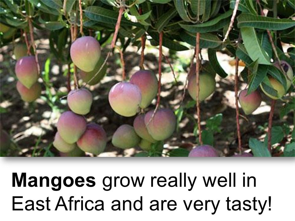 Mangoes grow really well in East Africa and are very tasty!