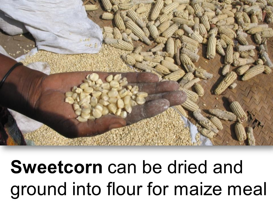 Sweetcorn can be dried and ground into flour for maize meal