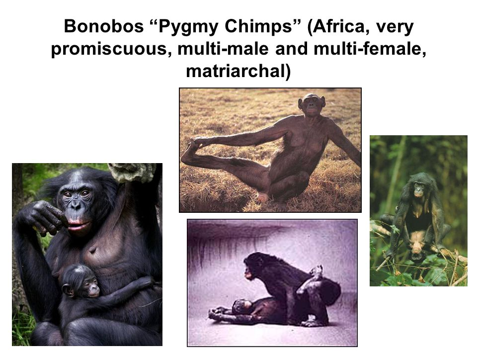 Bonobos Pygmy Chimps (Africa, very promiscuous, multi-male and multi-female, matriarchal)