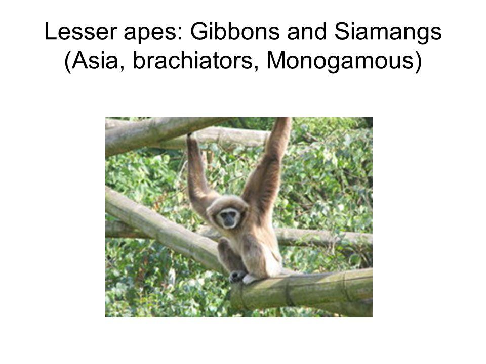 Lesser apes: Gibbons and Siamangs (Asia, brachiators, Monogamous)