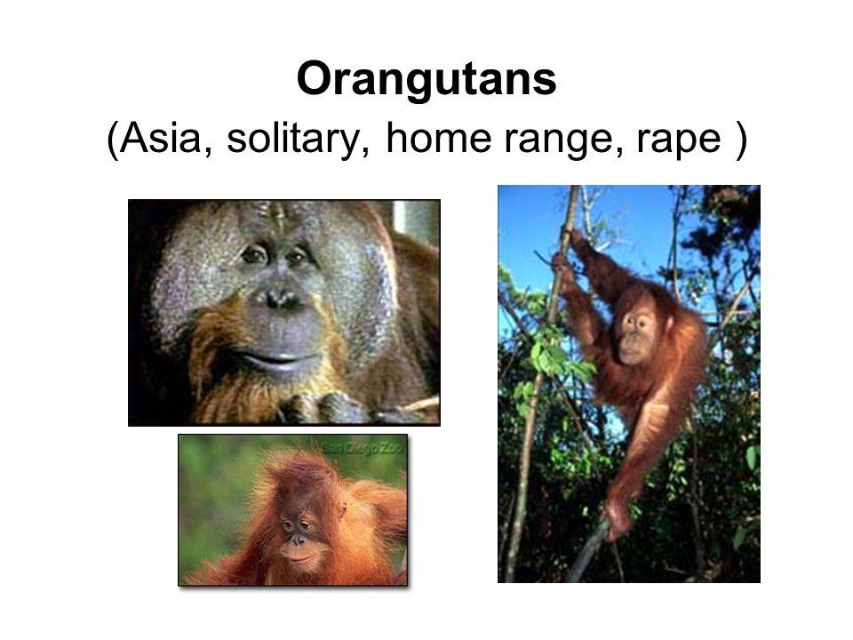 Orangutans (Asia, solitary, home range, rape )