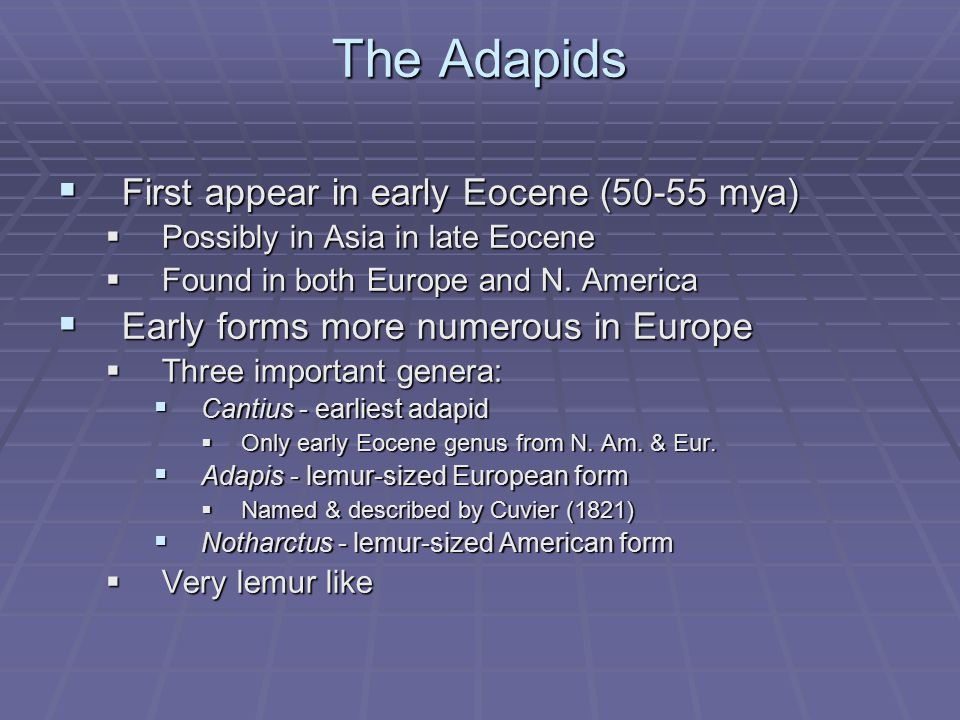 The Adapids  First appear in early Eocene (50-55 mya)  Possibly in Asia in late Eocene  Found in both Europe and N. America  Early forms more nume