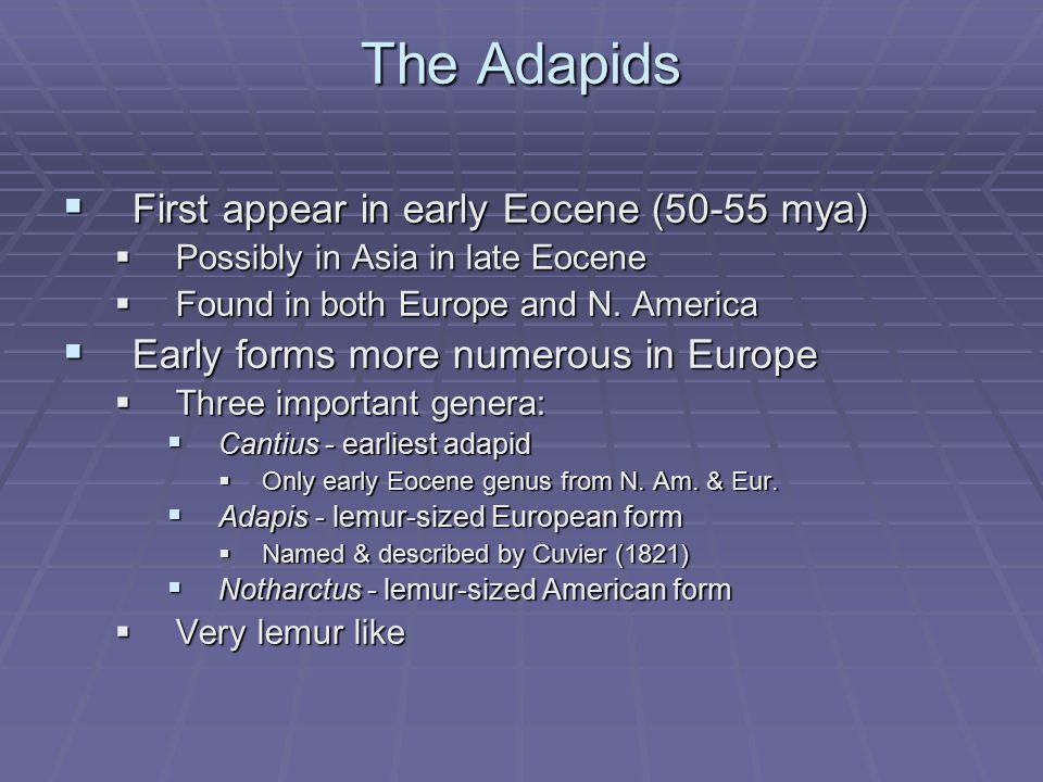The Omomyids  First appear in early Eocene (50-55 mya)  Found in Europe, N.