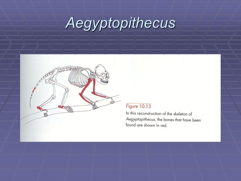 Aegyptopithecus Reconstruction