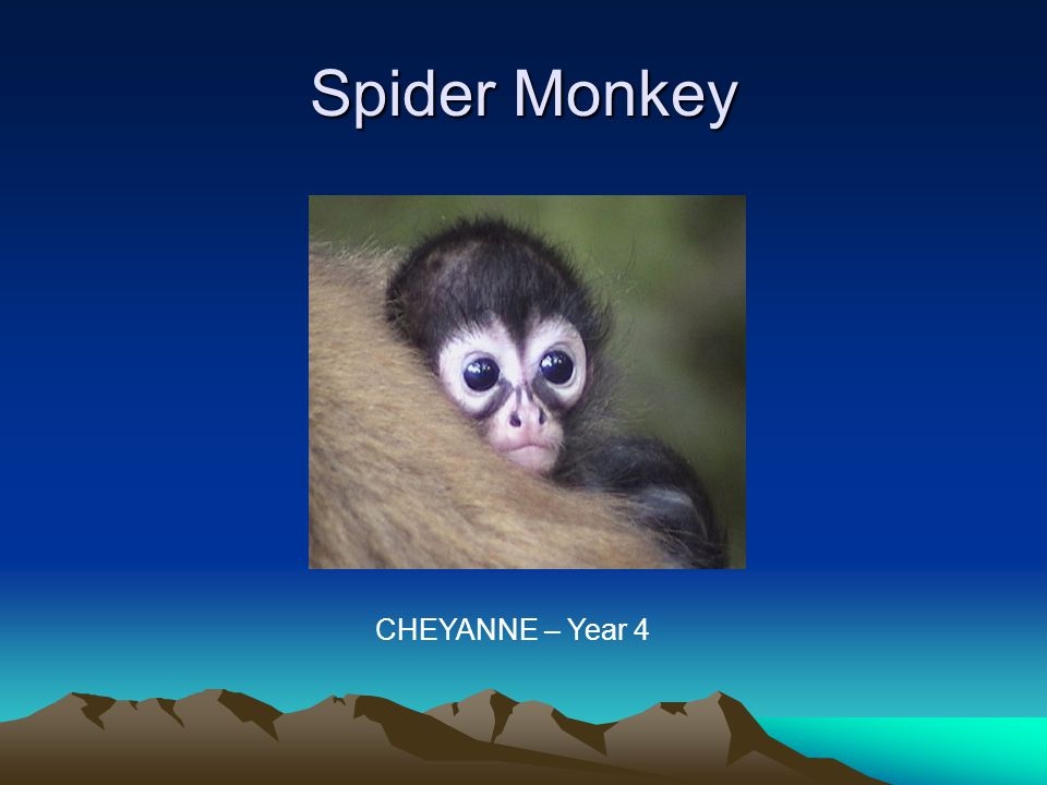 Characteristics The male spider monkey normally weighs 10.8kg and the female 9.66kg.