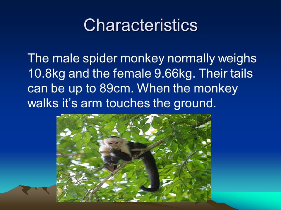 Characteristics The male spider monkey normally weighs 10.8kg and the female 9.66kg. Their tails can be up to 89cm. When the monkey walks it's arm tou