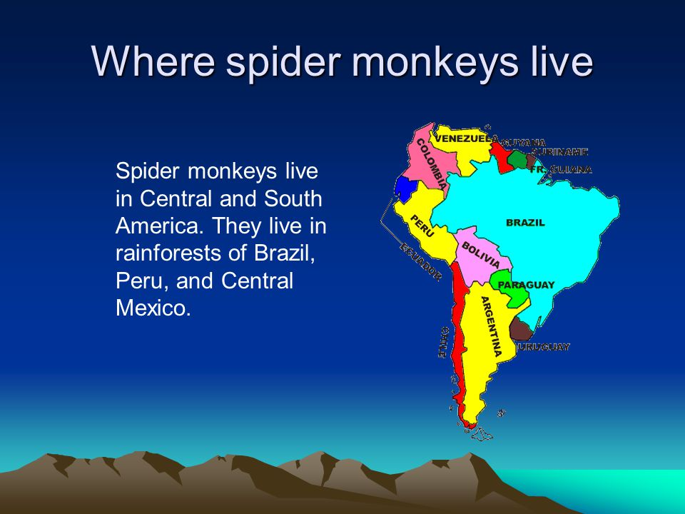 Where spider monkeys live Spider monkeys live in Central and South America. They live in rainforests of Brazil, Peru, and Central Mexico.