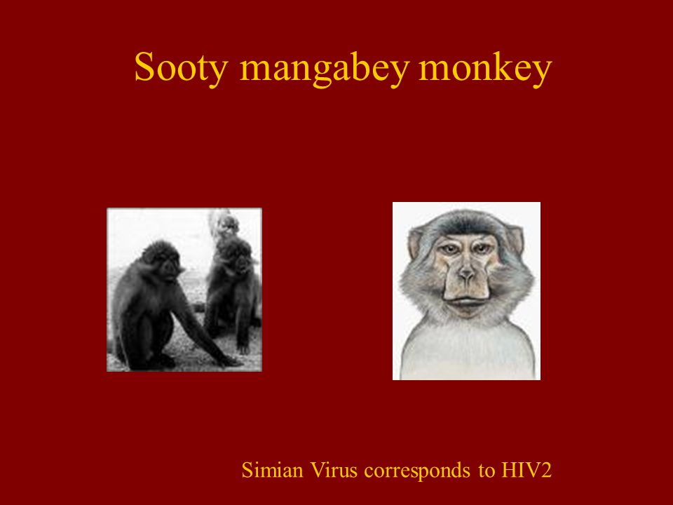 Sooty mangabey monkey Simian Virus corresponds to HIV2