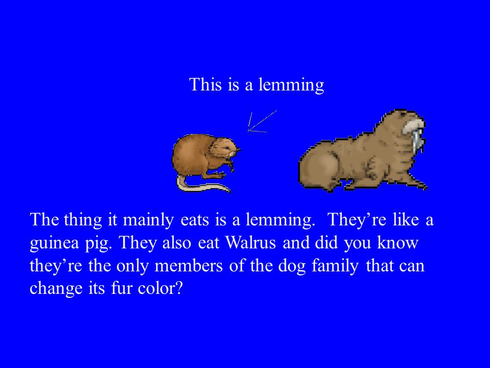 The thing it mainly eats is a lemming. They're like a guinea pig. They also eat Walrus and did you know they're the only members of the dog family tha