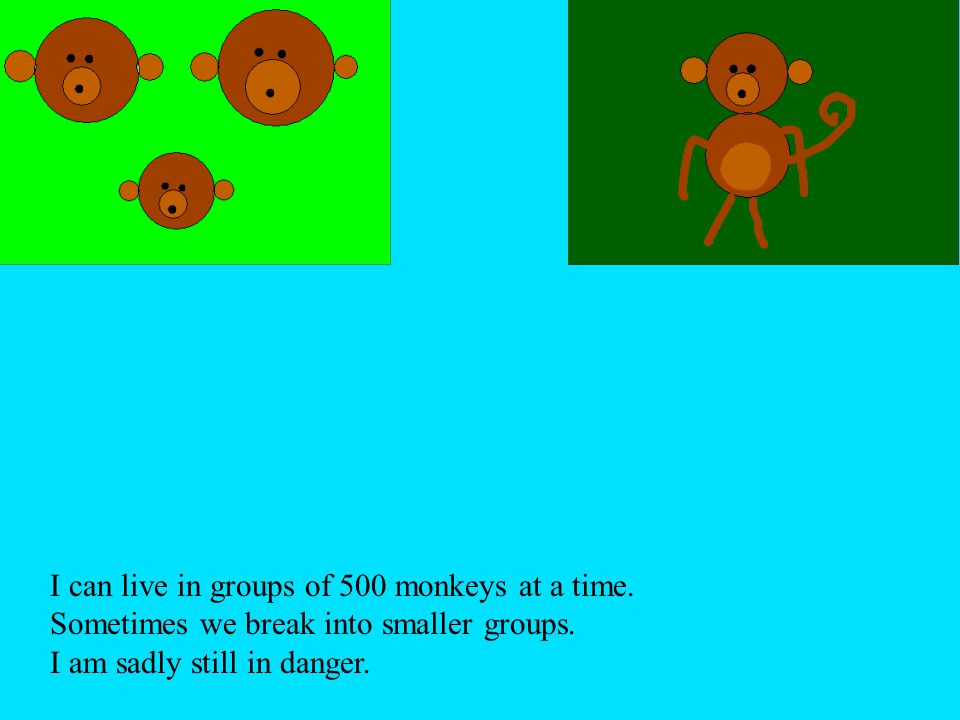 I can live in groups of 500 monkeys at a time. Sometimes we break into smaller groups. I am sadly still in danger.