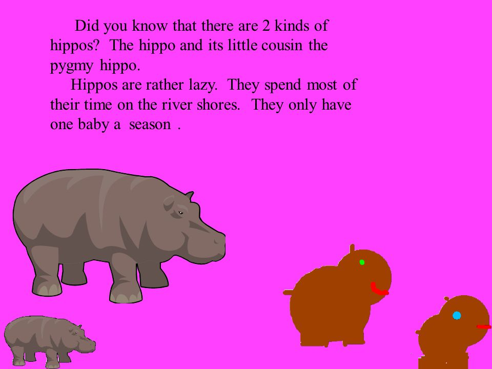 Did you know that there are 2 kinds of hippos? The hippo and its little cousin the pygmy hippo. Hippos are rather lazy. They spend most of their time