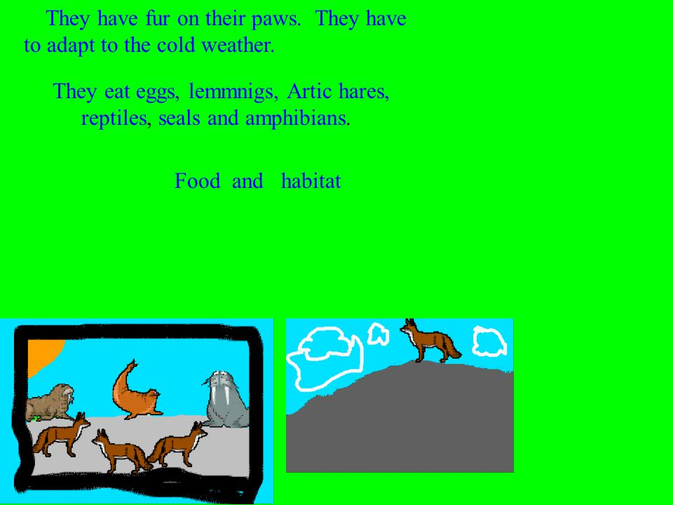 They eat eggs, lemmnigs, Artic hares, reptiles, seals and amphibians. Food and habitat They have fur on their paws. They have to adapt to the cold wea