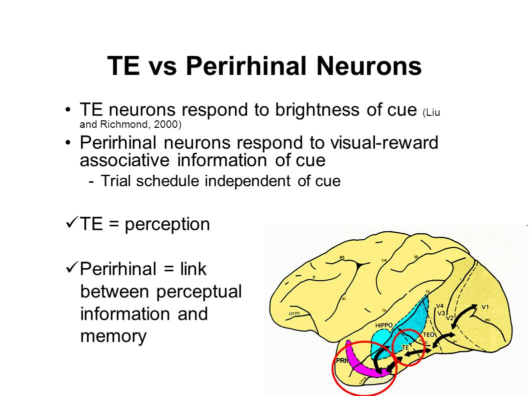 TE vs Perirhinal Neurons TE neurons respond to brightness of cue (Liu and Richmond, 2000) Perirhinal neurons respond to visual-reward associative information of cue -Trial schedule independent of cue TE = perception Perirhinal = link between perceptual information and memory